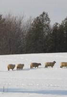 Shropshire: A Likeable Sheep by Montana Jones