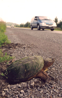 Two Turtle Loves — Story and photos by Montana Jones