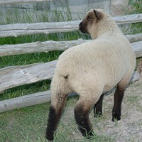 Shropshire - A Likeable Sheep by Montana Jones